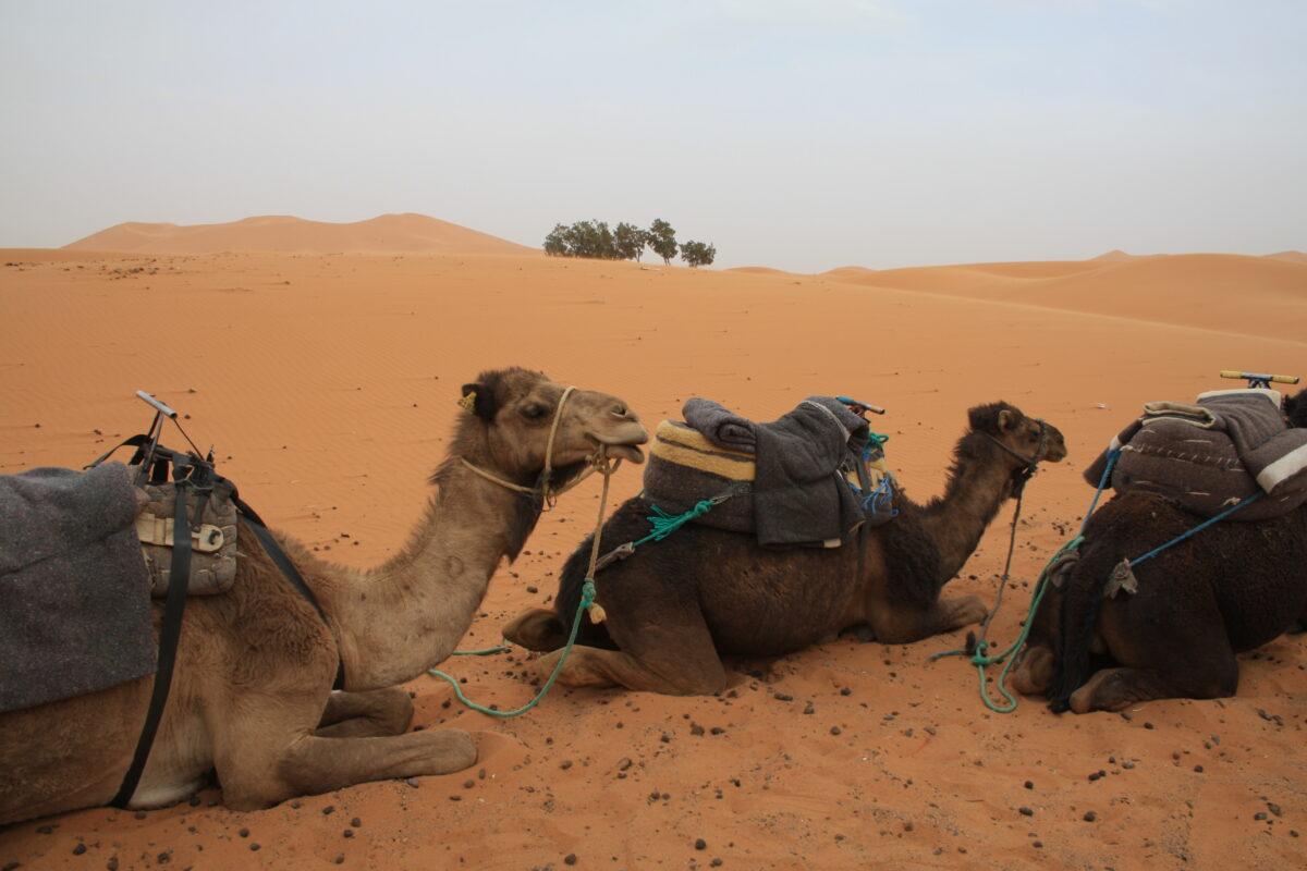 camels_resting_morocco_tour_sahara