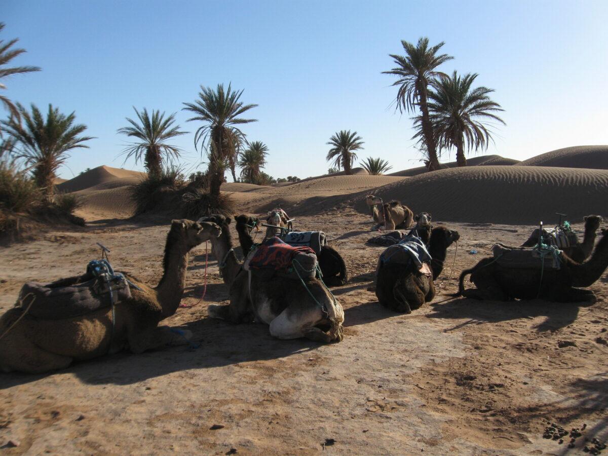 sahara_camels_resting_morocco