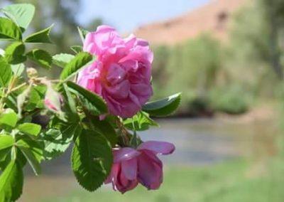 roos rozenvallei